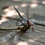 Dragonfly Cannibalism on the Dock