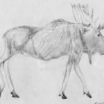 Sketchy Moose