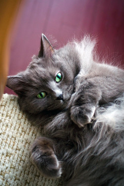 fluffy grey cat with bright green eyes