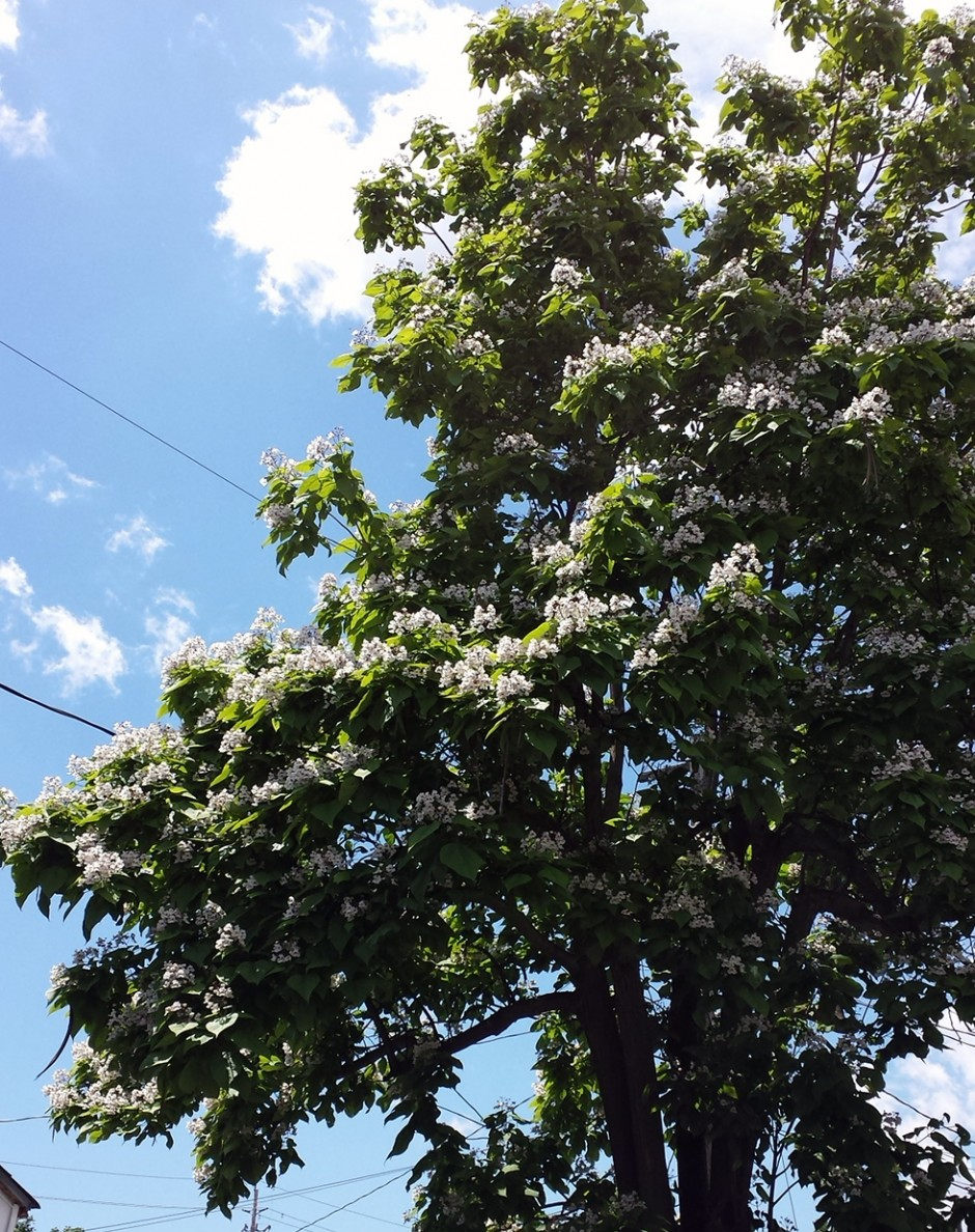 western catalpa tree, bad tree, bad
