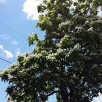 Western Catalpa Tree — June: My Foe Blooms Anew