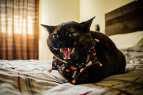 hissing cat at halloween