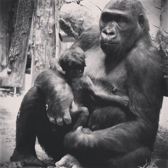 gorilla with baby in hungary