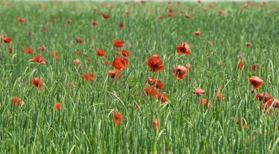 Poppies to Remember