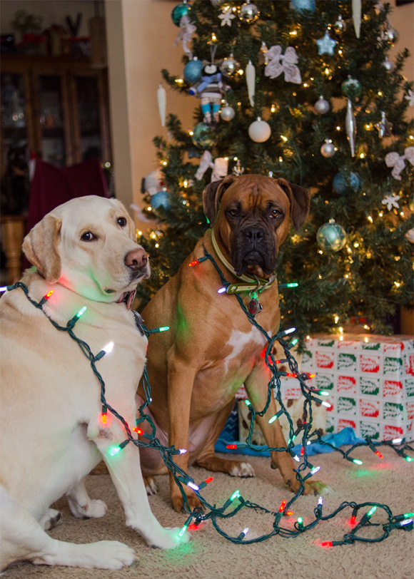 kitty photobombing dogs trimming the tree