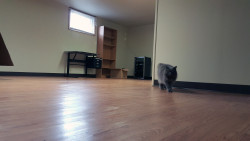 cat walking on vinyl plank