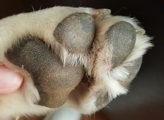 dog paws after Dermoscent treatment for hyperkeratosis