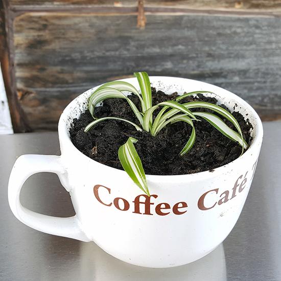 Growing spider plants from baby plants
