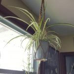 2 easy ways to grow your own spider plants — no green thumb needed!